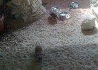 suricate 1
